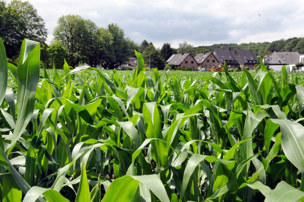 Noch wächst der Mais: Oberhalb der Waldstraße hat die Immobilien-Entwicklungsgesellschaft Ackerflächen gekauft, die an die vorhandene Bebauung angrenzen.