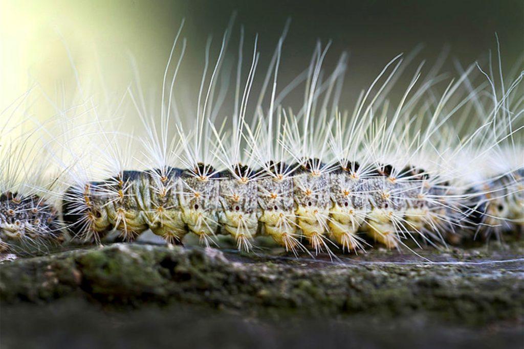 Der Eichenprozessionsspinner kann für Mensch und Tier gefährlich werden.