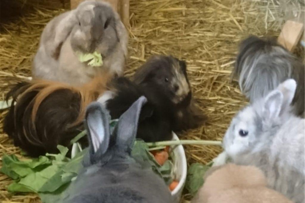 Der Verein Tierfreunde Kamen nimmt nicht nur Katzen auf, sondern auch Meerschweinchen und Kaninchen. Die Tiere werden untersucht, geimpft und dann vermittelt. Die Tiere leben derzeit gemeinsam in einer Pferdebox.