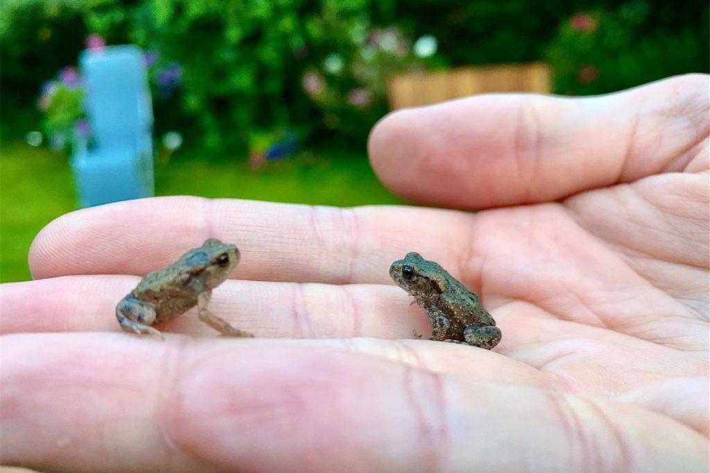 Neben Schmetterlingen, Hummeln und Bienen hat Susanne Scharffetter in ihrem Garten auch zwei kleine Frösche gefunden.