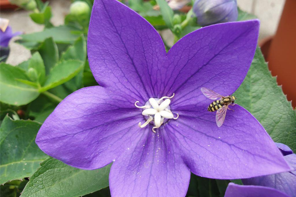 Bienen, Hummeln und Schwebefliegen erobern die Dachterrasse von Michaela Gerling.