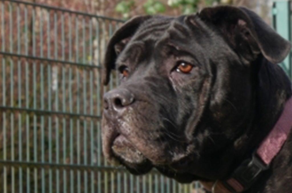 Luna, ein drei Jahre alter Alano-Mix, sitzt seit fast zwei Jahren im Dortmunder Tierschutzzentrum. Die Hündin hat einen starken Schutztrieb und braucht einen erfahrenen Halter.