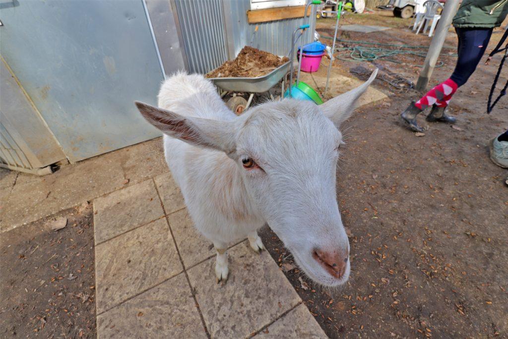 Ziege Zottel ist neugierig. Sie ist eines von über zwei Dutzend Tieren, die auf dem zwei Hektar großen Grundstück in Südkamen leben.