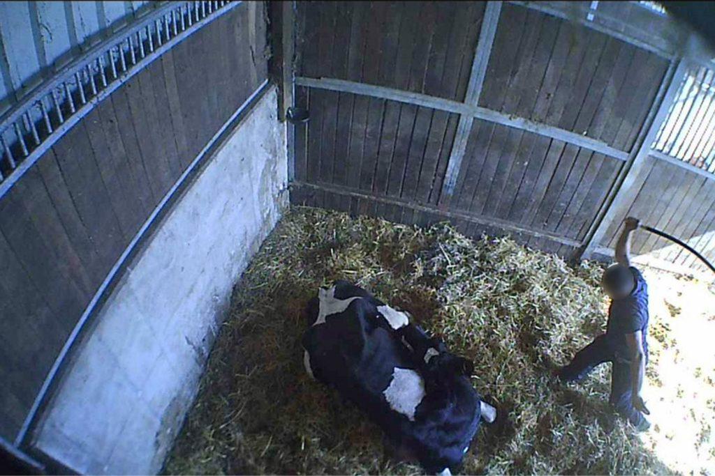 Eines der schlimmen Bilder zeigt, wie ein Mann auf ein am Boden liegendes Rind einschlägt.