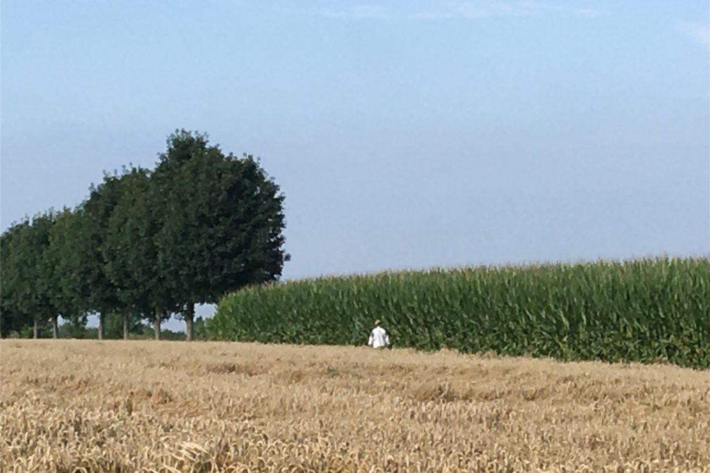 Ein Spaziergänger zwischen einem Weizen- und einem Maisfeld in Südkamen.